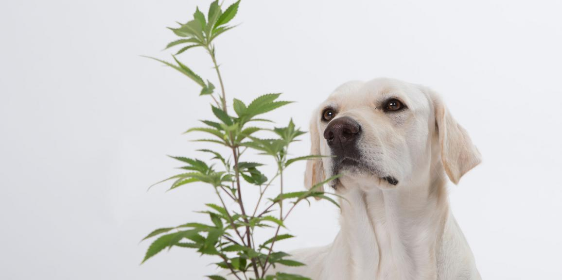 Marijuana and Pets: Medically Beneficial on the Long Run